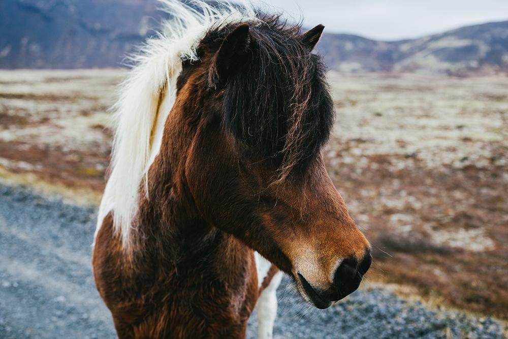 Mit isländischen Pferden ausreiten – Reiten bei Reykjavik