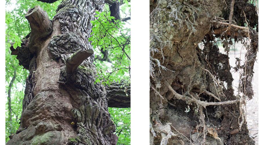 Nationalpark Hainich – Buchenurwälder der Karpaten und alte Buchenwälder Deutschlands